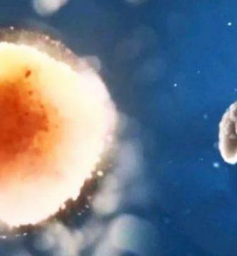 Biobots organismos creados a partir de células de rana y de programación robótica las primeras maquinas con vida Robots vivientes www.comprarobot.com